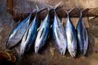 cooking article: The Fish Who Came to Dinner